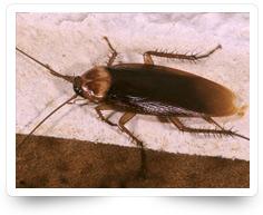 Cockroach Gel Treatment Kollam